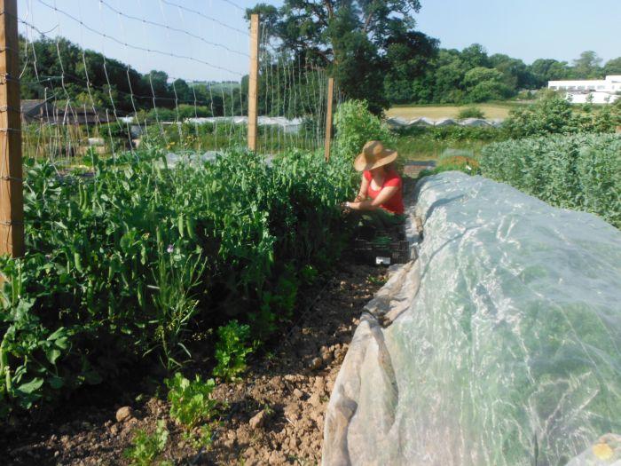 Jenny harvesting