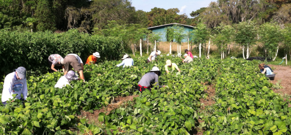 10 Stories of Transition in the US: Transition Sarasota's Suncoast Gleaning Project